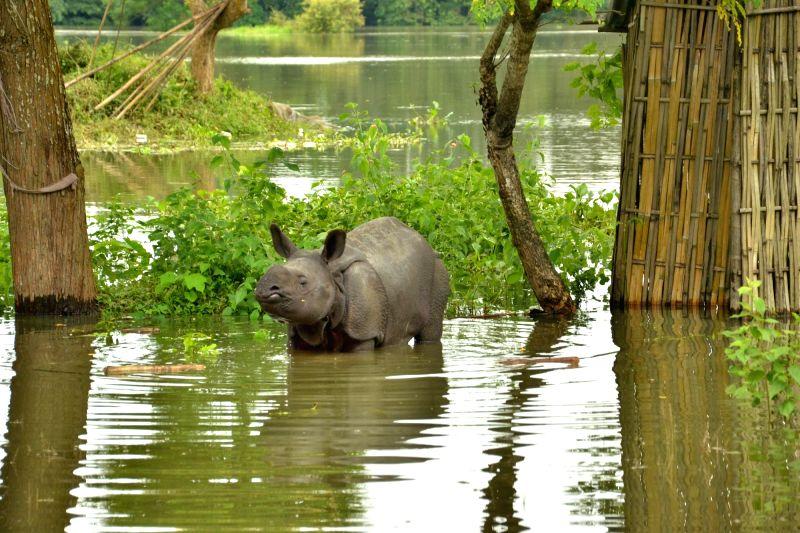 A baby Rhino stand near a human settlement following floods at the Kaziranga National Park in Guwahati on July 27, 2016.