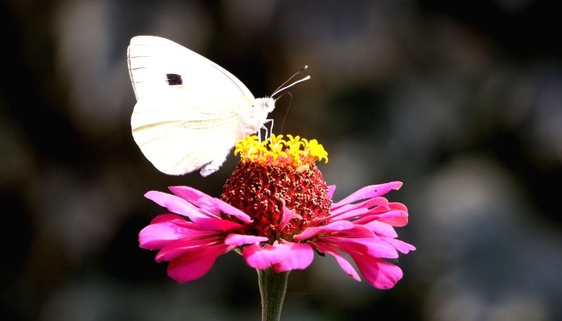 A butterfly collects nectar from a flower in Srinagar on Sept 29, 2017.