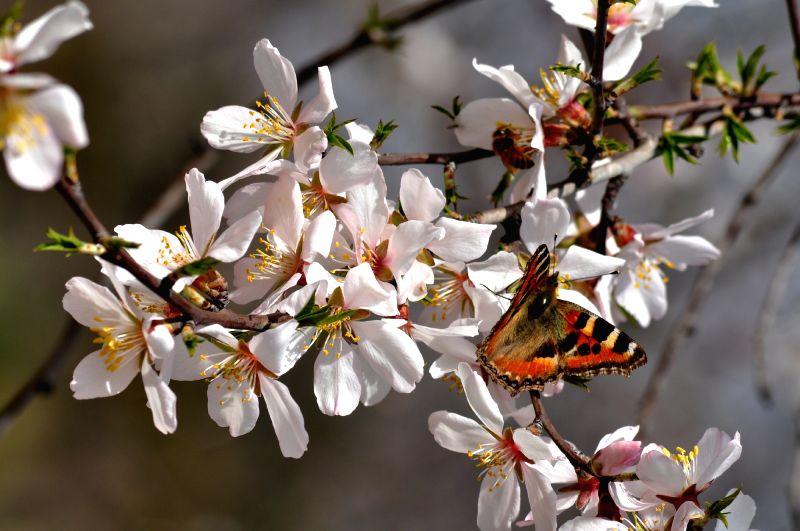 Flowering Almond Tree Lundvik