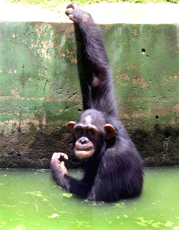 A chimpanzee plays in its enclosure at Alipore Zoological gardens in Kolkata, on June 7, 2018.