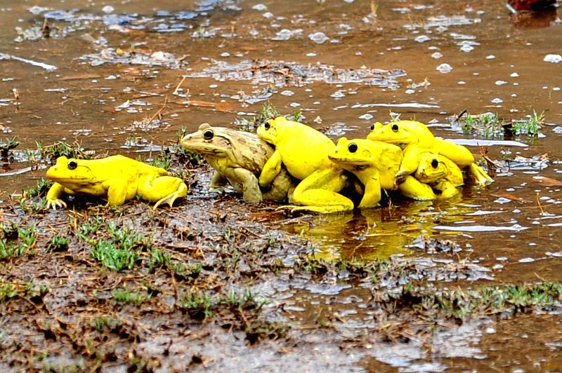 A colony of frogs celebrate the arrival of rains on a bank of a lake in Jaipur on July 17, 2014.