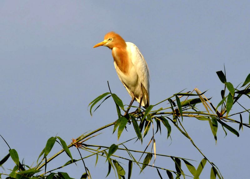A crane perches on a bamboo grove on the banks of river Manu in Chanripur of Tripura's Unnakoti district. Once found in large numbers in Tripura their population has been rapidly dwindling due to ...
