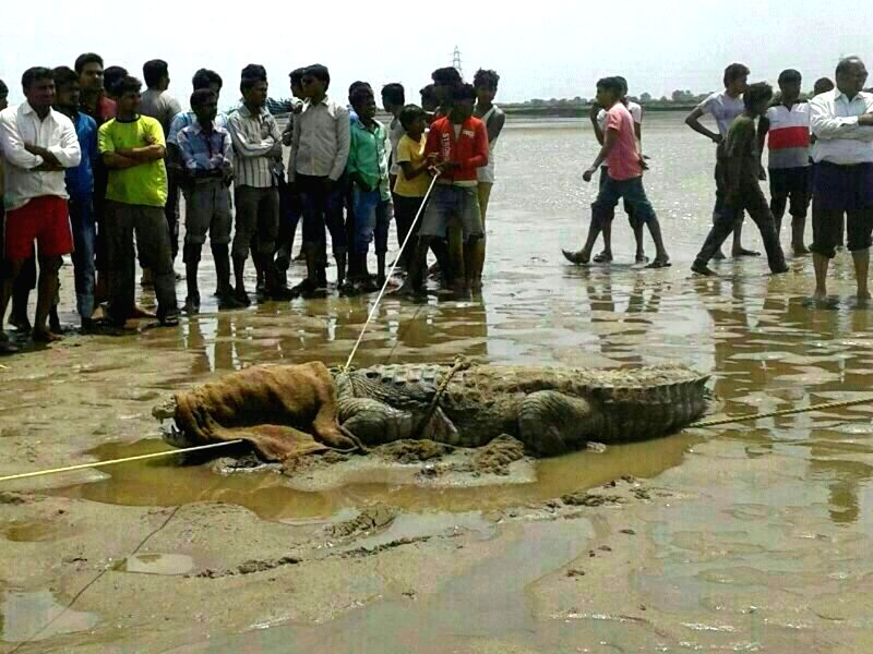A crocodile that was spotted at Juhu beach of Mumbai on July 13, 2014.
