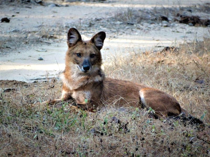 A Dhole at Kanha National Park, in Bhopal, on July 19, 2018.