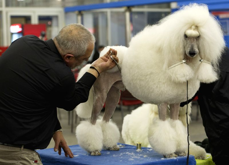 A dog exhibitor prepares his dog for competition during the International Dog Show CACIB Zagreb 2015 at Zagreb Fair in Zagreb, capital of Croatia, Nov. 27, 2015. A ...