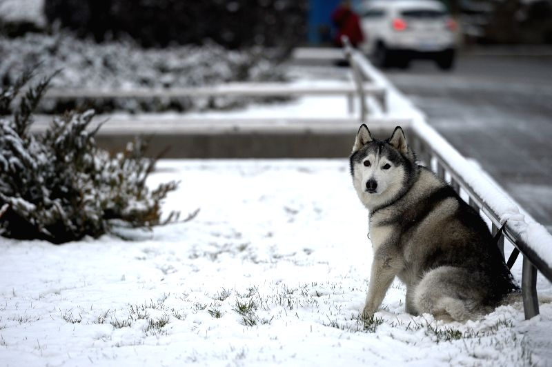 A dog stays at a park in Yinchuan, capital of northwest China's Ningxia Hui Autonomous Region, Nov. 24, 2015. The city witnessed snowfall on Tuesday.   ...
