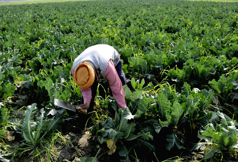 A farmer busy harvesting cauliflowers at an agricultural field in Amritsar on Feb 1, 2018. In the Union Budget 2018-19, Finance Minister Arun Jaitley's focus was on rural India and ... - Arun Jaitley