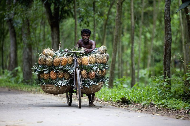 A farmer carries freshly picked pineapples to the market at a bicycle, in Bangladesh's Madhupur on July 23, 2018.