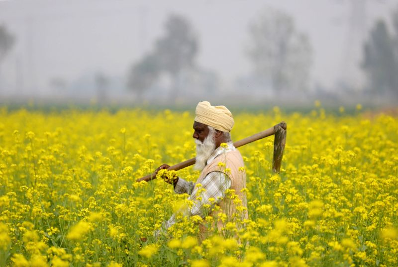 A farmer inspects mustard crops in a farm near Amritsar on Nov 30, 2018.