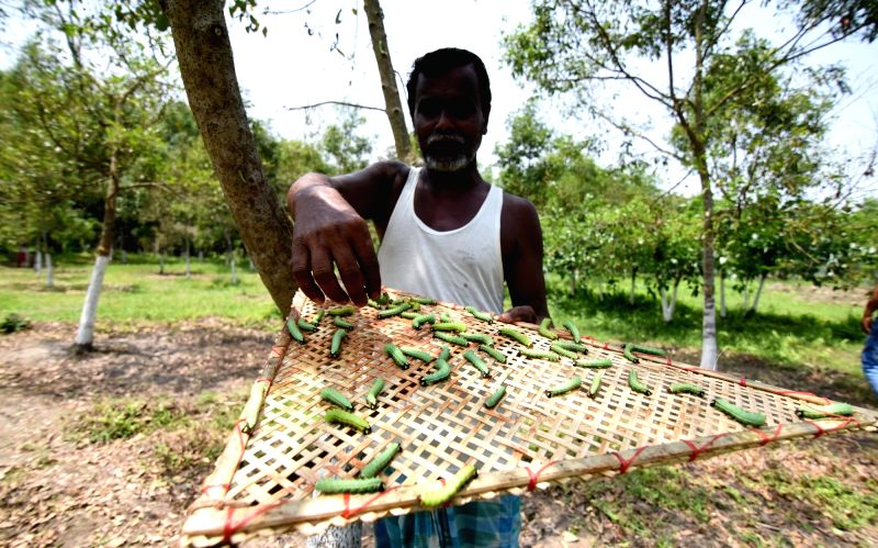 A farmer with his Muga Silkworms in the Dogaon village in Nagaon district of  Assam on April 26, 2017.