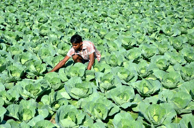 A farmer works at his cabage field in Lankamura area of Tripura-Bangladesh border of Agartala on Nov 30, 2015.