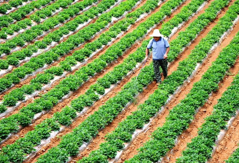 A farmer works in a farmland at Hugou Village in Zaozhuang City, east China's Shandong Province, June 22, 2015. Monday marked the summer solstice, the 10th solar ...