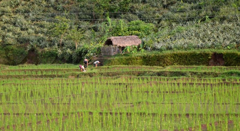 A farmers busy working in a paddy field situated near pineapple fields in Nongpoh, of Meghalaya on July 17, 2018.