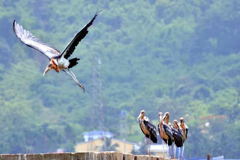 A flock of greater adjutant stork spotted on the outskirts of Guwahati, on May 29, 2016.