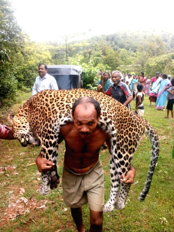 A forest department staff carries a dead leopard which was found in forests near Chiplun of Maharashtra on July 6, 2014.