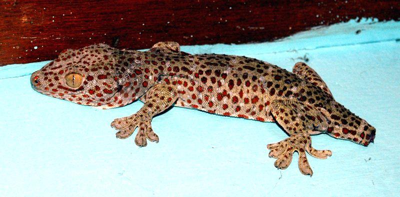 A gecko - lizard belonging to the infraorder Gekkota found in warm climates throughout the world that was found in Guwahati on July 30, 2014.