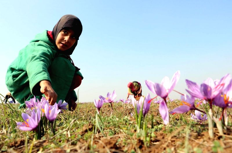 A girl plucks saffron flowers in Pampore of Jammuy and Kashmir's Pulwama district on Oct 29, 2015.