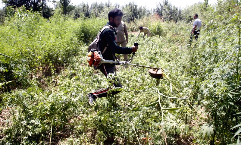 A government employee destroys illegally cultivated cannabis at Dupatyar in Jammu and Kashmir's Anantnag district on Aug 17, 2014.