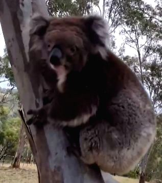 A heartwarming video of a Koala, who was rescued from bushfires in Australia is doing the rounds on the social media as she returned back to its habitat.