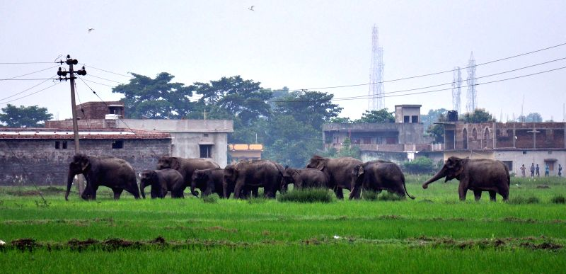 A herd of elephants enters Jamunanaki area in Kuarmunda of Sundergarh district in Orissa on Aug 25, 2014.