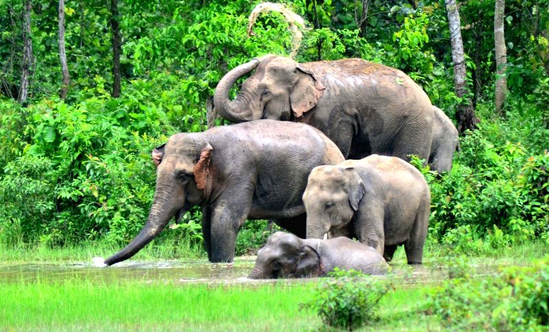 A herd of elephants in paddy fields on the outskirts of Guwahati on May 20, 2016.