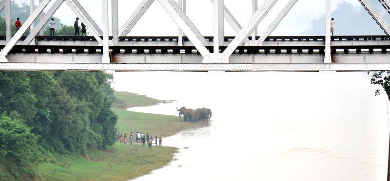 A herd of elephants near Brahmani River in Kuarmunda of Sundergarh district in Orissa on Aug 25, 2014.