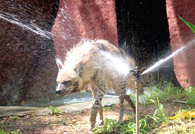 A hyena cools itself in front of a water sprinkler at Nehru Zoological Park in Hyderabad on March 25, 2017.