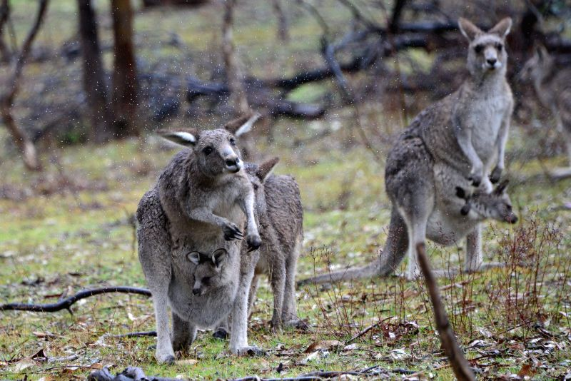 A kangaroo shakes off the snow in Mount Ainslie National Park in Canberra, Australia, Aug. 12, 2015. Australia's capital city Canberra is expected to freeze ...