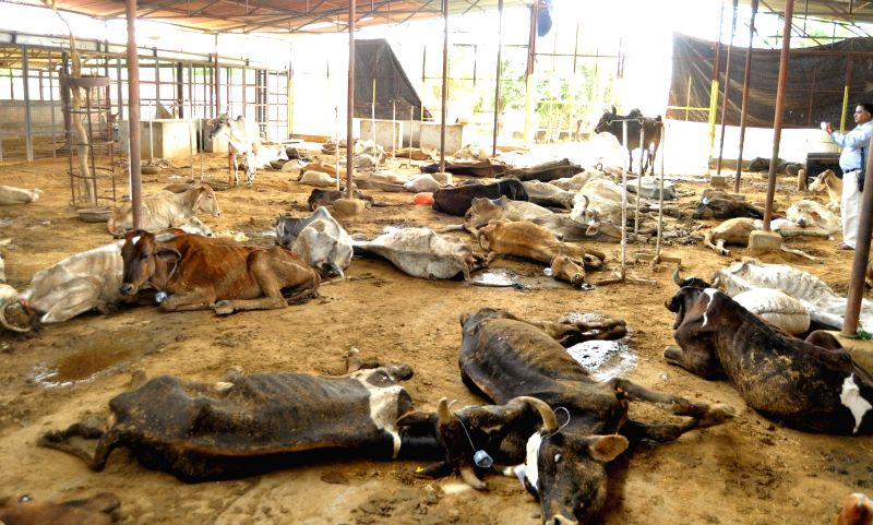 A large number of cows in a pathetic condition at Hingonia Gaushala on the outskirts of Jaipur on Aug. 6, 2016.