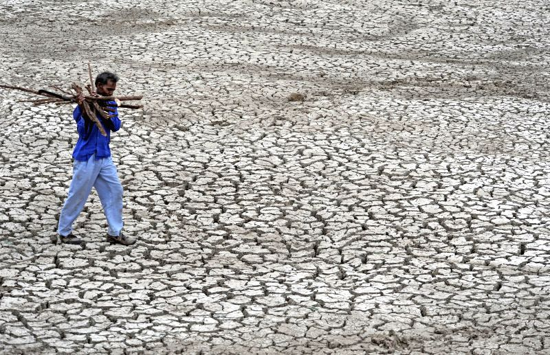 A man carries fire-wood as he walks on a parched field in a village near Ahmedabad on July 16, 2014.