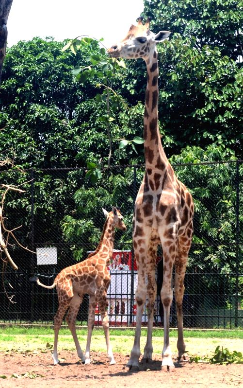 A mother Giraffe with her baby after being released into their enclosure at Alipore Zoological Gardens, in Kolkata on June 7, 2018.