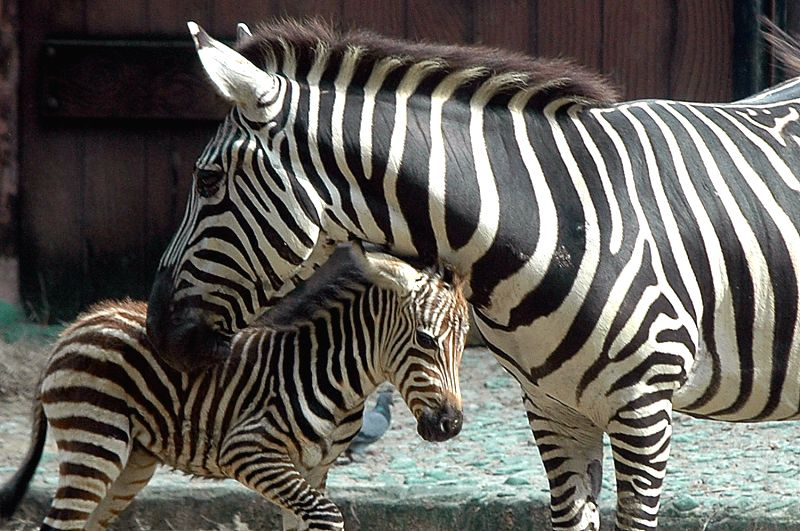 A new born zebra with mother