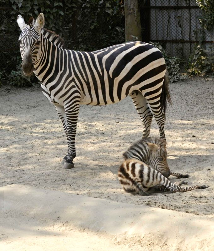 A new born zebra foal with its mother at Alipore Zoological Garden in Kolkata on Jan 29, 2018.