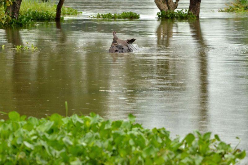 A one horn Rhino swims through flood waters in Kaziranga National Park in Guwahati on July 27, 2016.
