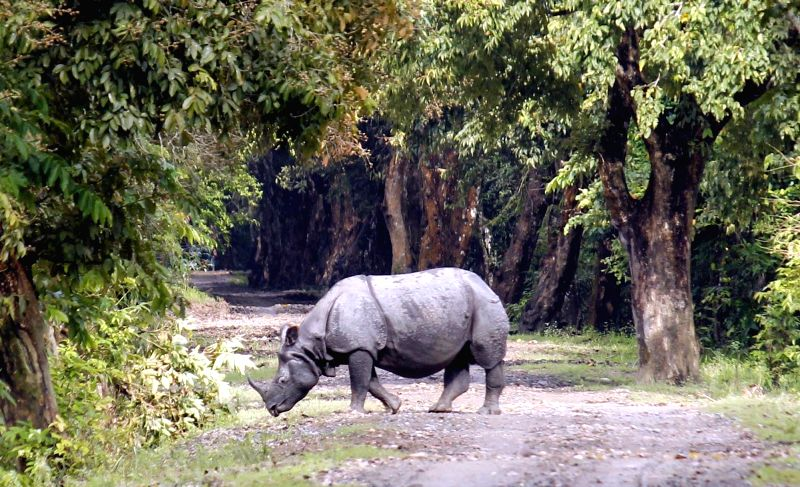A one-horned rhinoceros at Kaziranga National Park that was opened for the 2017-18 tourist season in the Golaghat district of Assam on Oct 2, 2017. Kaziranga has the highest number of the ...