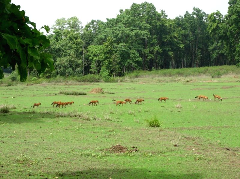 A Pack of Dholes at Kanha National Park, in Bhopal, on July 19, 2018.