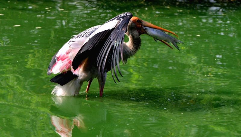 A painted stork relaxes at an artificial pond inside its enclosure at the National Zoological Park in New Delhi, on Nov 27, 2018.