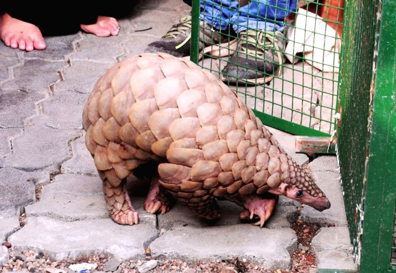 A Pangolin found at Gorewada-Mankapur road that was later rescued by forest officials, in Nagpur on June 9, 2018.