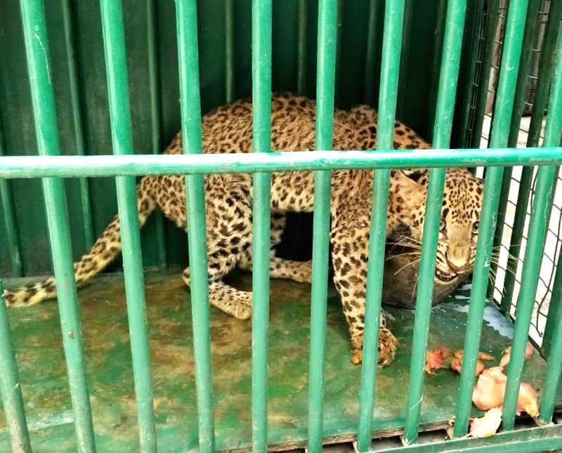 A panther that was recused from a snare in Bansuwada reserve forests in Telangana, after being shifted to Nehru Zoological Park, in Hyderabad on July 18, 2018.