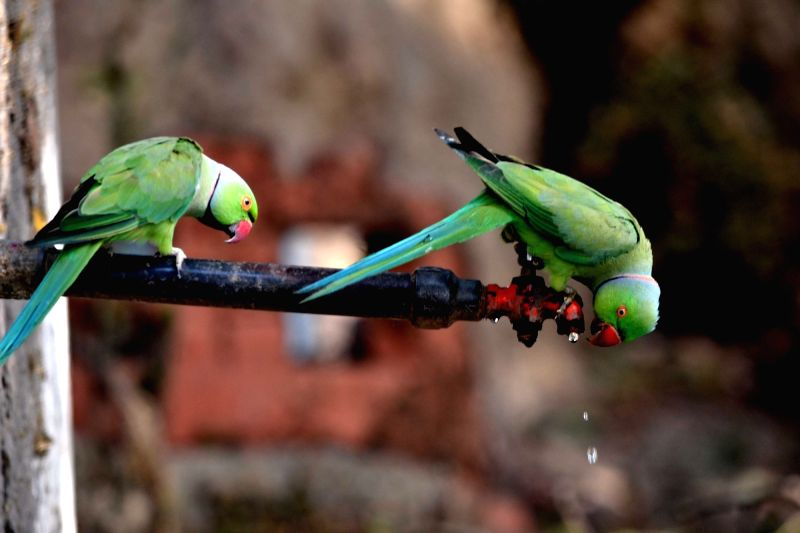 A parrot tries to drink water from a leaking tap on a hot day in Agra, on May 23, 2016.