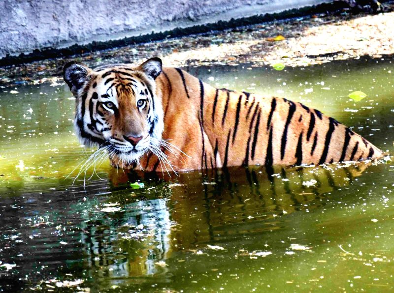 A Royal Bengal Tiger cools himself at Nehru Zoological Park on a hot day in Hyderabad, on May 8, 2016.