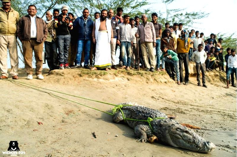 A seven-foot-long crocodile that was rescued by experts of the Wildlife SOS from Agra on Jan 29, 2018.
