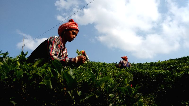 A tea garden worker plucks new tea leaves at a tea estate in Brahmakunda of West Tripura on May 18, 2016.