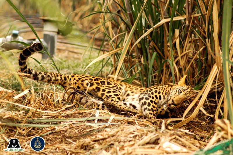 A team of Maharashtra Forest Department and Wildlife SOS rescued a 3-year old female Leopard ensnared in a deadly 'jaw-trap' outside a farmland.