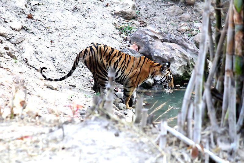 "A three year old tiger before jumping in a small pool called \""Nazar Nala\"" at Bandhavgarh National Park, Madhya Pradesh. The tiger had not marked it\'s territory yet.(Photo/Kushagra Dixit/IANS) - Kushagra Dixit"