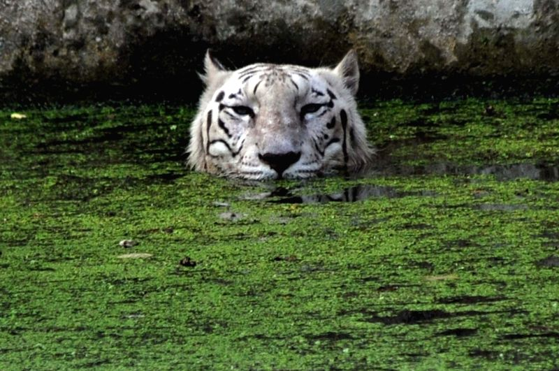 A tiger beats the heat at a pond at Alipore Zoological Gardens in Kolkata on April 30, 2017.
