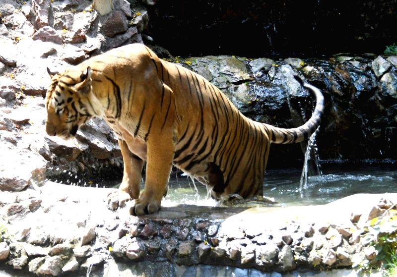 A tiger  beats the heat at its enclosure in Sanjay Gandhi Jaivik Udyan, Patna on May 7, 2017.