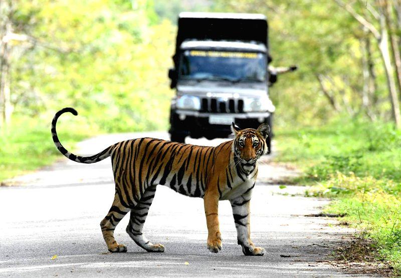 A tiger spotted on Mananthavady Bavali Mysore Road at Kabini, near Mysuru on June 7, 2017.