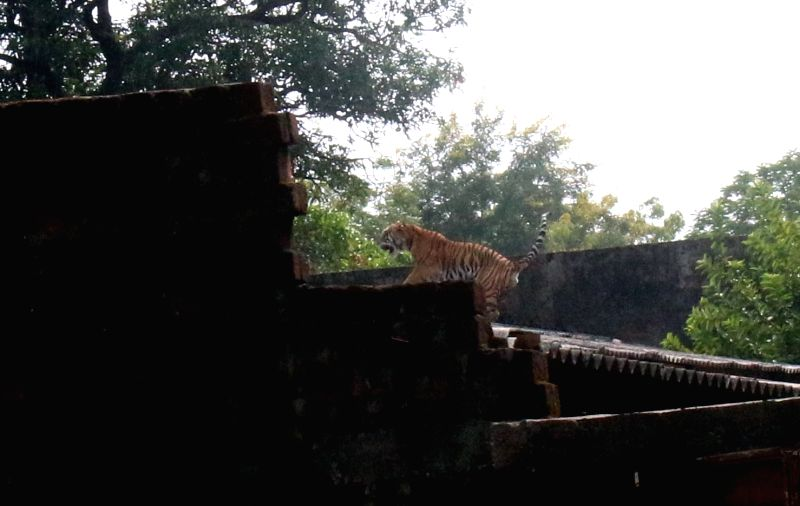 A tiger that was spotted in the campus of Central Institute of Agriculture Engineering in Bhopal, on Oct 29, 2015.