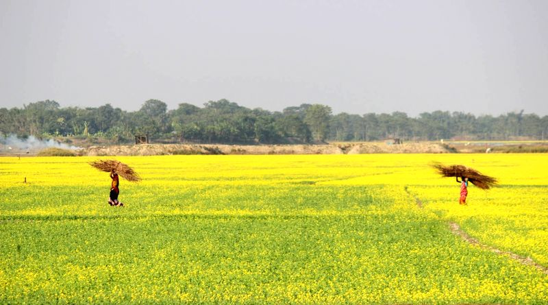 A view Mustard fields at Hajo in Kamrup district of Assam on Nov 29, 2015.